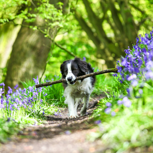 """""""Molly the Border Collie cross enjoying fetching her stick in the spring sunshine amongst the Bluebells at Target Wood Stoke on Trent Staffordshire England UK"""" stock image"""