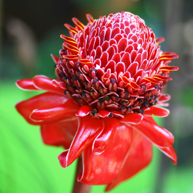 """The red flower of a Ginger plant 'Red Torch' (Etlingera elatior)"" stock image"