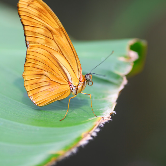 """A Julia butterfly (Dryas iulia) with orange wings resting on a leaf"" stock image"