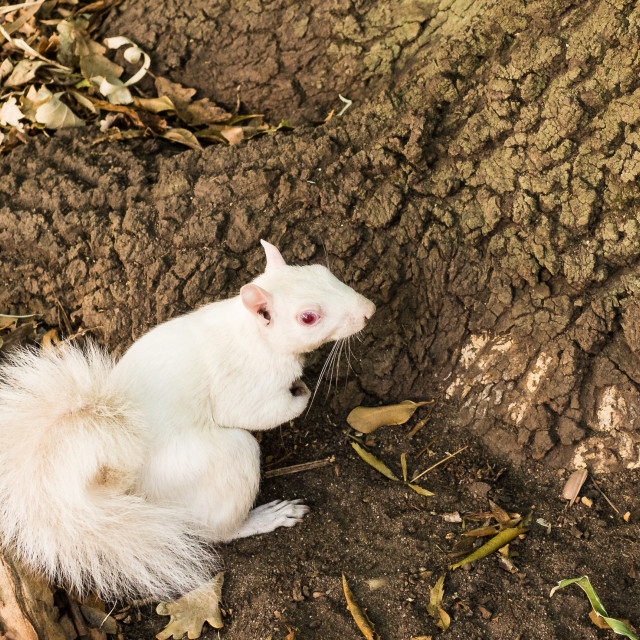 """Albino Squirrel"" stock image"