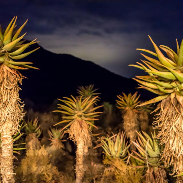 """Cacti at night."" stock image"