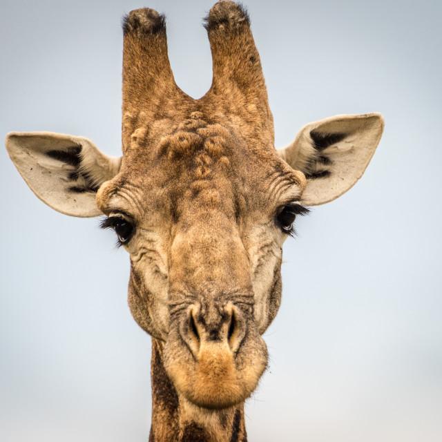 """Giraffe Head Shot"" stock image"