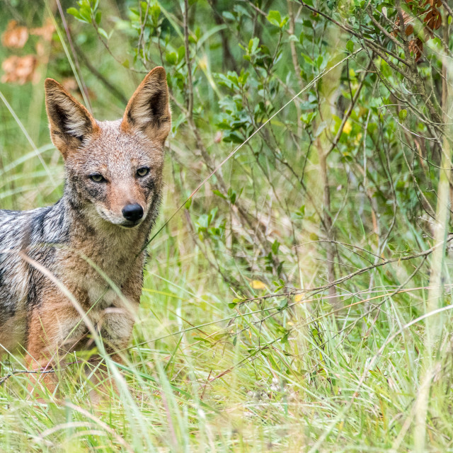 """Black-backed Jackal"" stock image"