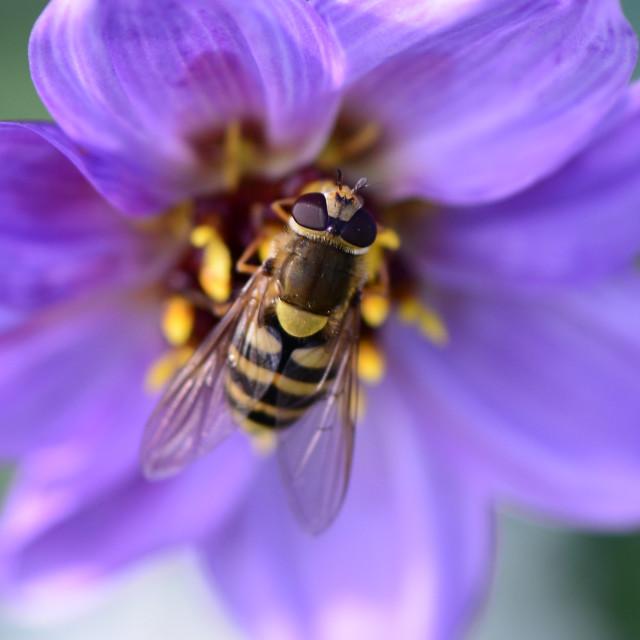 """""""Bee Closeup"""" stock image"""