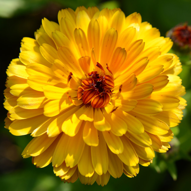 """""""Large Bright Yellow Flower"""" stock image"""