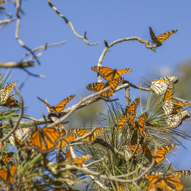 """Monarch butterflies"" stock image"