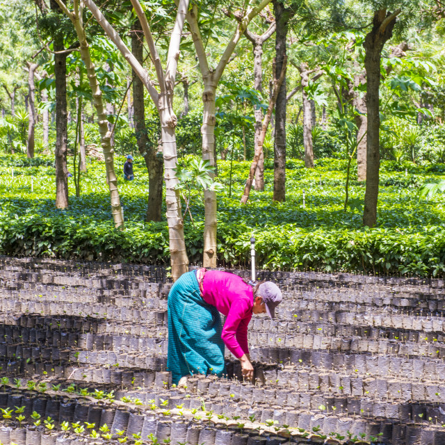 """Guatemala coffee plantation"" stock image"