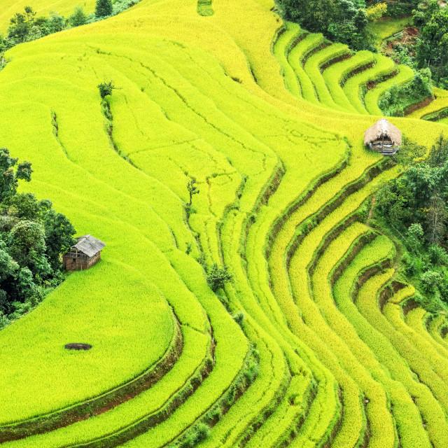 """Rice fields"" stock image"