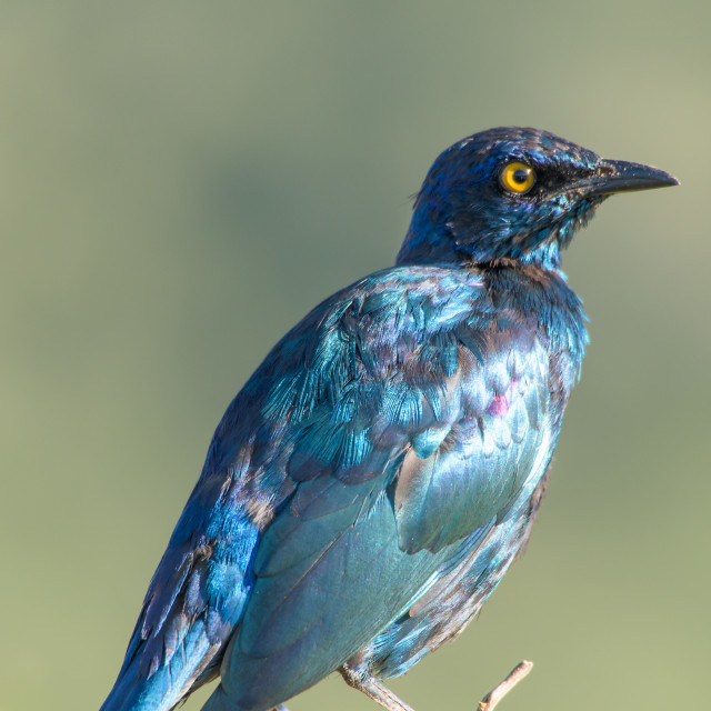"""Glossy Starling"" stock image"