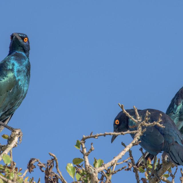 """Glossy Starlings"" stock image"