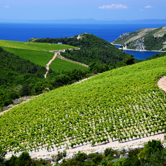 """Vineyard in Dalmatia, Croatia, at the Adriatic coast"" stock image"