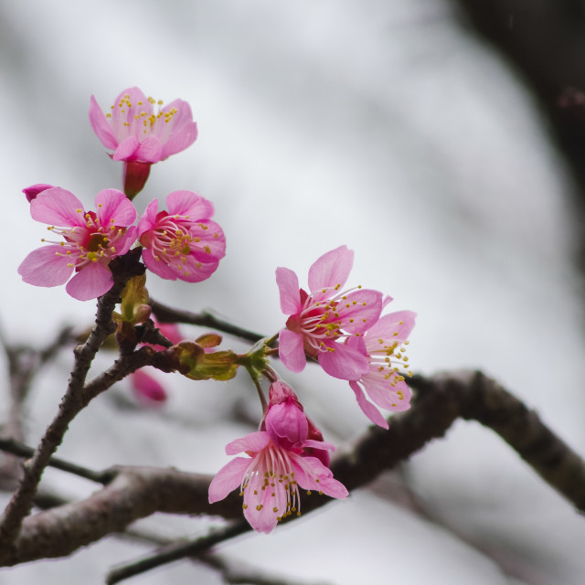 """Last year cherry blossoms in the winter wind"" stock image"