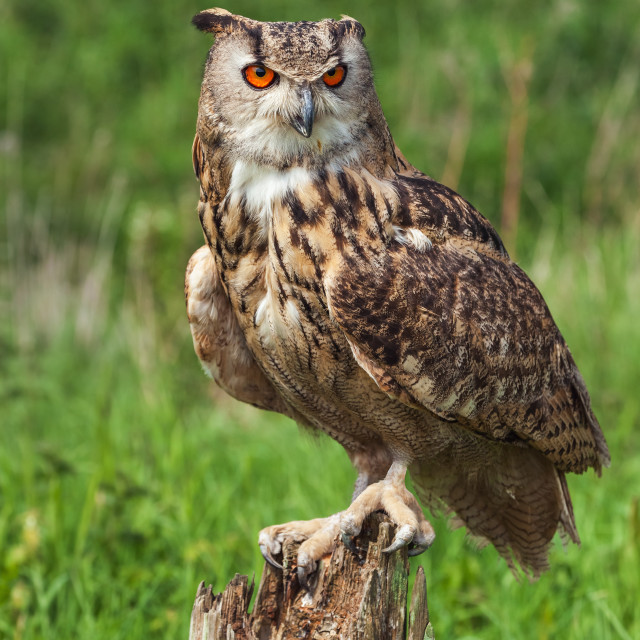 """Eagle owl on a tree stump"" stock image"