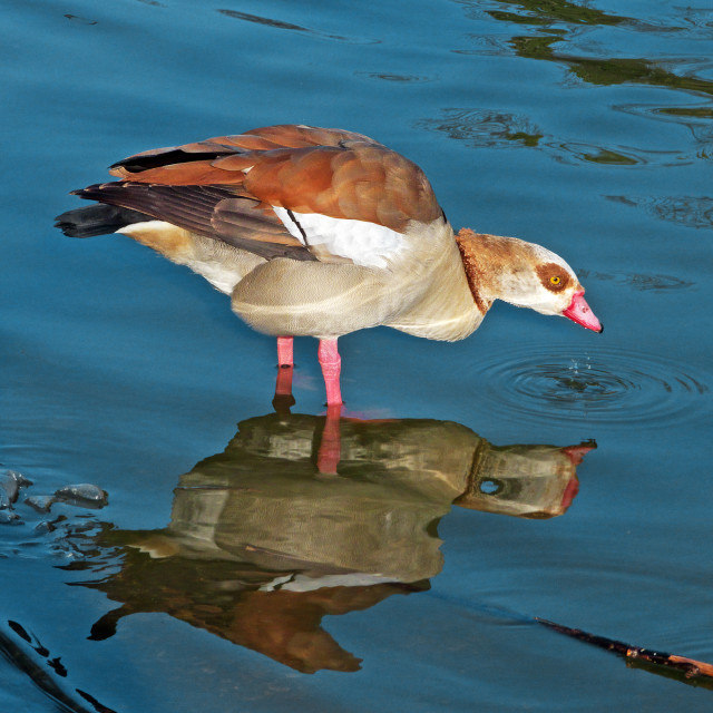 """""""Egyptian Goose reflected in blue water"""" stock image"""