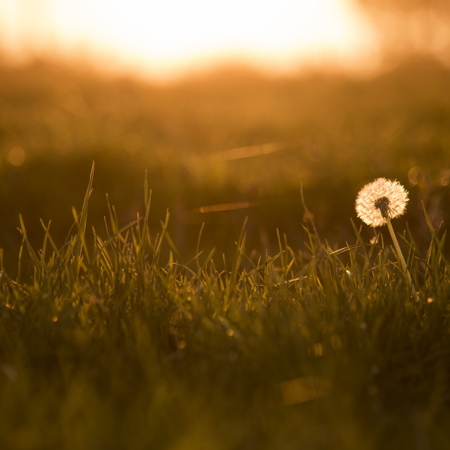 """Golden Sunset Behind Dandelion"" stock image"