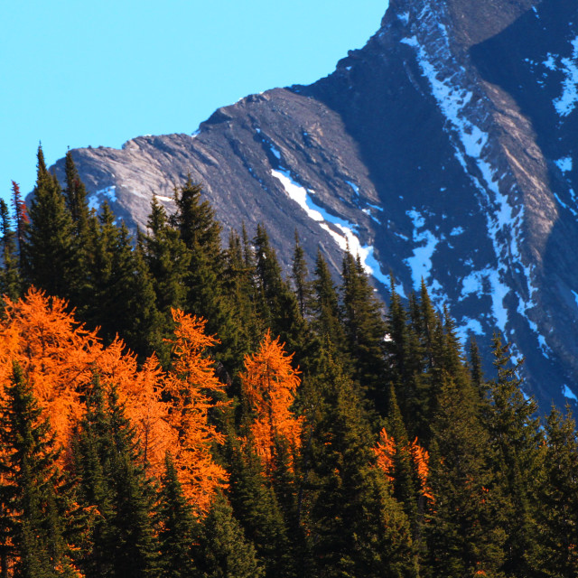 """""""Larches among Pines and Mountains"""" stock image"""