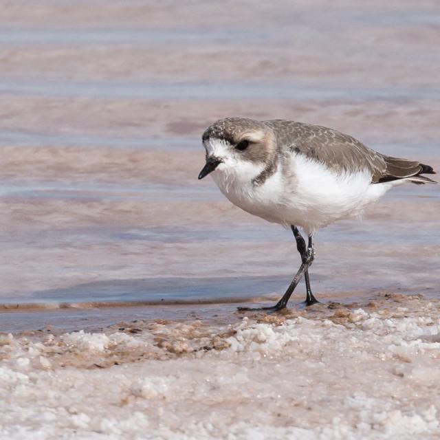 """""""Puna Plover (Charadrius alticola), Atacama desert"""" stock image"""