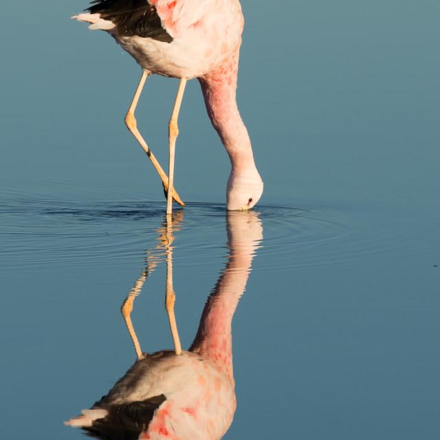 """Flamingo feeding, Laguna Chaxa"" stock image"
