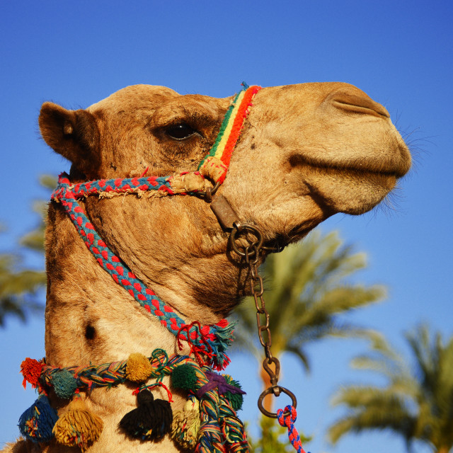 """Camel over the blue sky"" stock image"