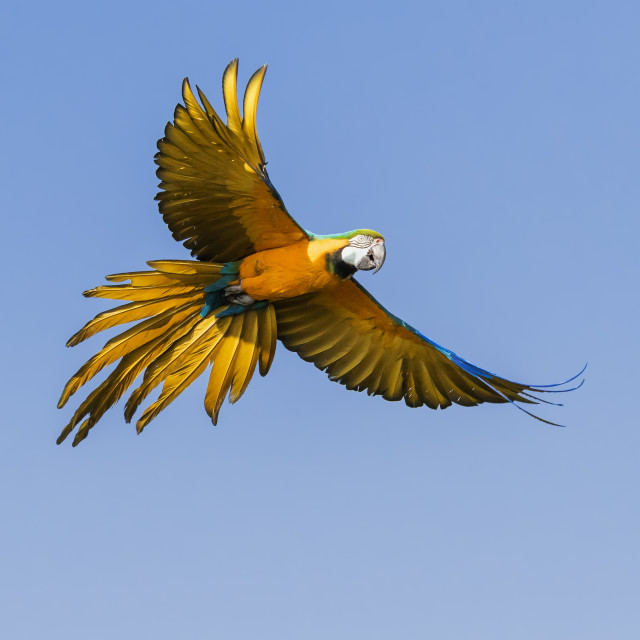 """Blue and Yellow Macaw in flight"" stock image"