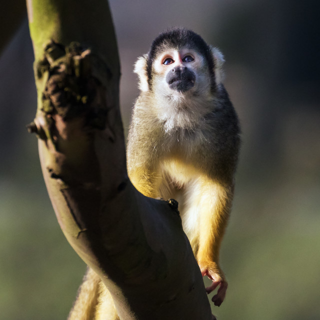 """""""Black-capped Squirrel Monkey contemplating a climb"""" stock image"""