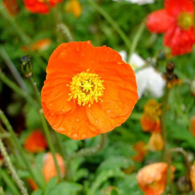 """Orange poppy"" stock image"