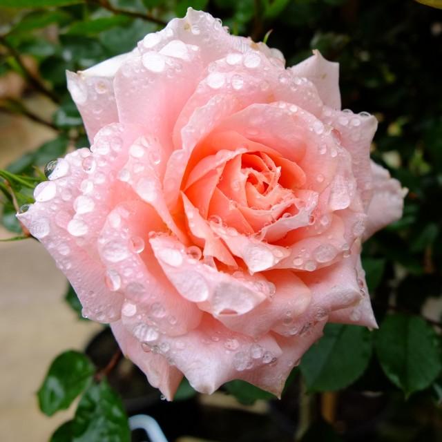 """Rain drops on roses"" stock image"