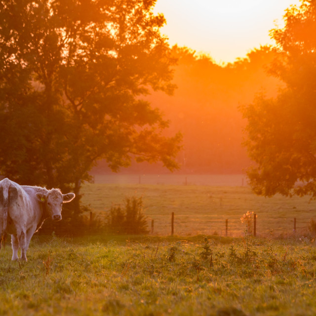 """Golden sunset cows"" stock image"