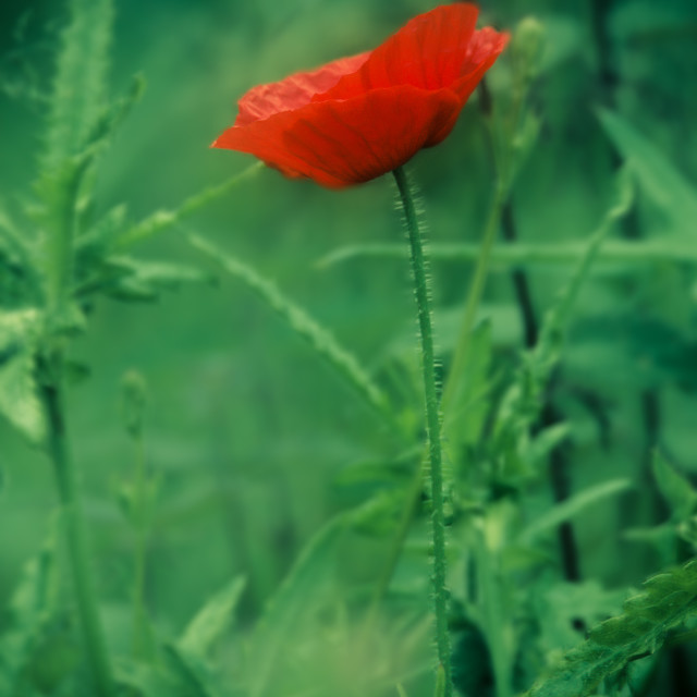 """Lone Poppy"" stock image"