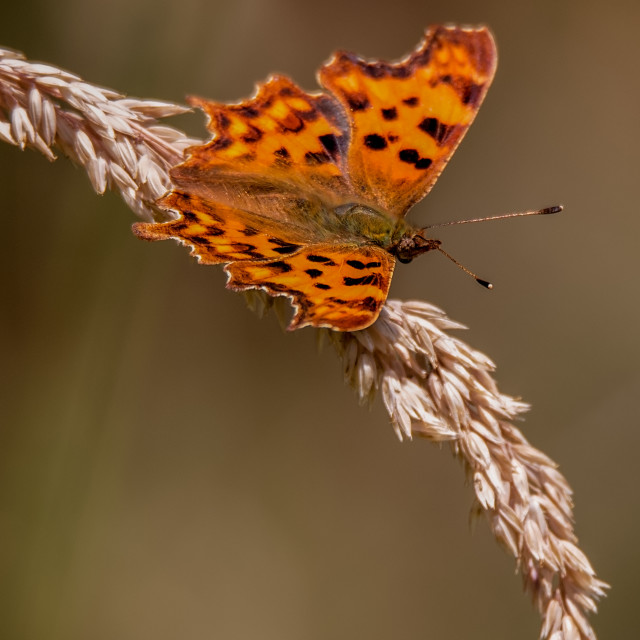 """""""Butterfly on Grass"""" stock image"""