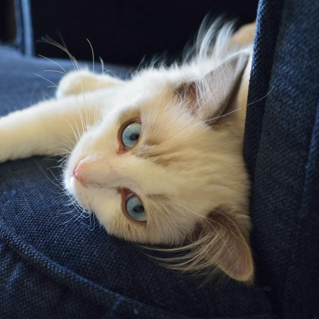 """Ragdoll kitten with sky blue eyes"" stock image"