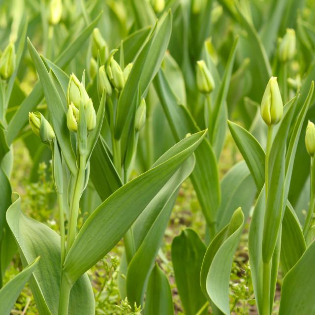 """closed tulip flowers"" stock image"