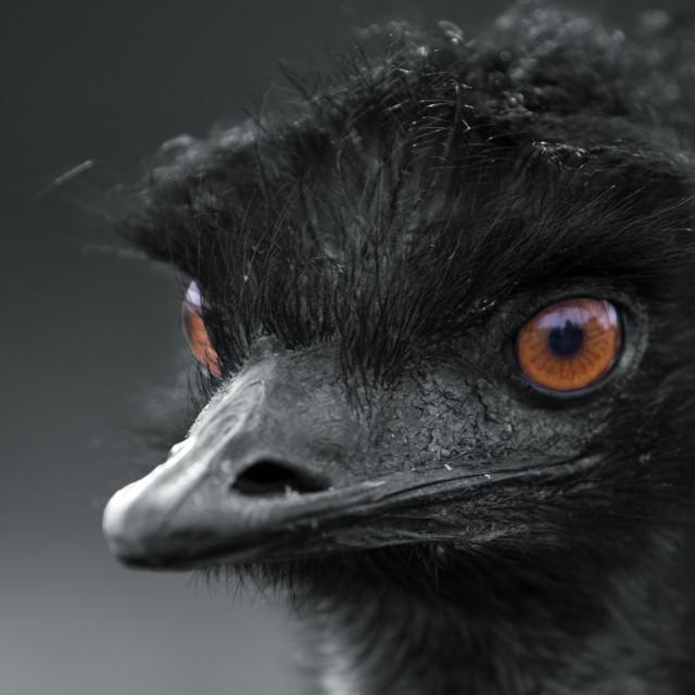 """""""Eye of the Emu"""" stock image"""