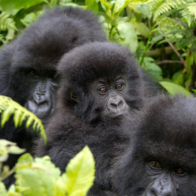 """Three Gorillas"" stock image"