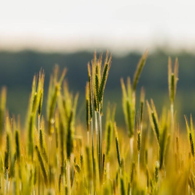 """Immature grain"" stock image"