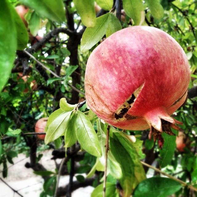 """Ripe pomegranate hanging on tree"" stock image"