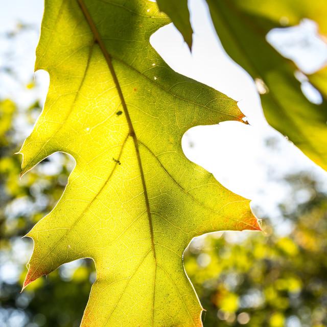 """Oak leaves in autumn"" stock image"