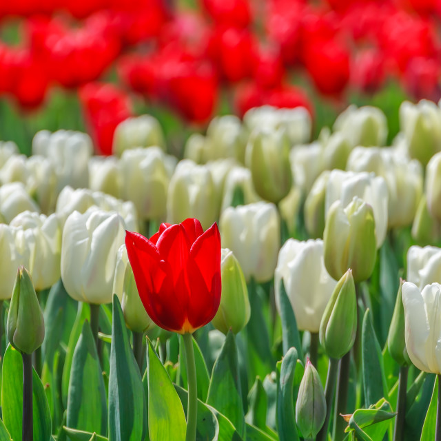 """""""Tulips in the park close up"""" stock image"""