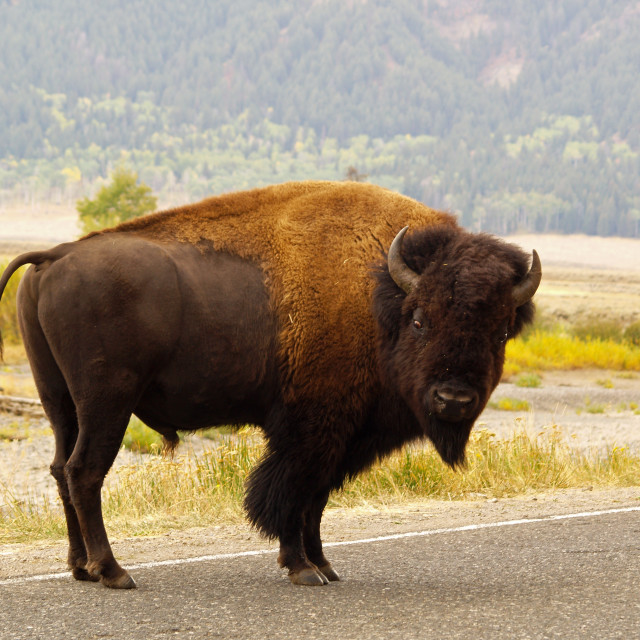 """Wandering Yellowstone Bison"" stock image"