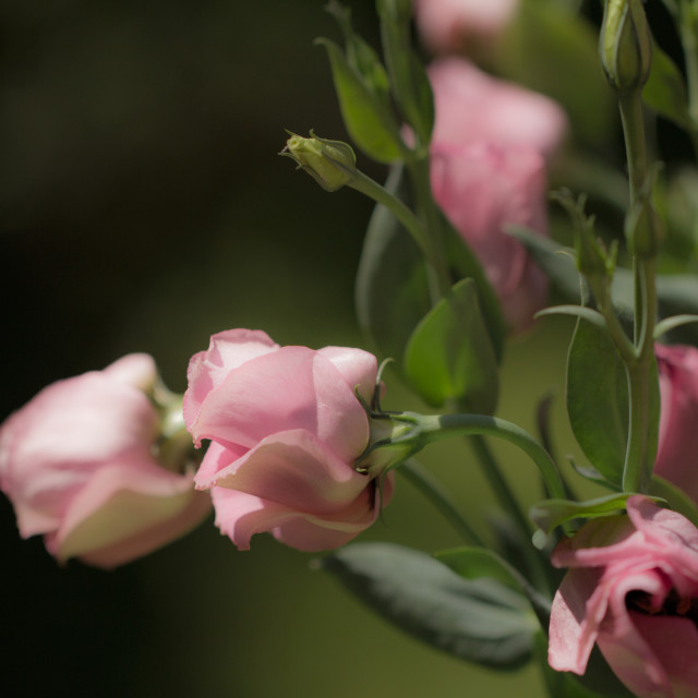 """Pink Lisianthus"" stock image"