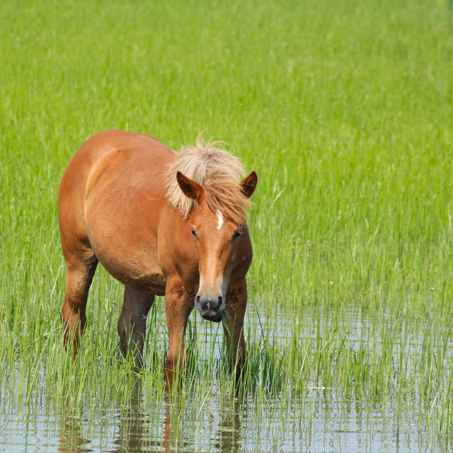 """horse standing in water"" stock image"