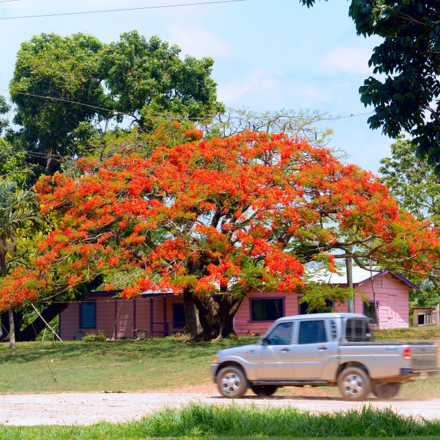 """Bougainvillea tree"" stock image"