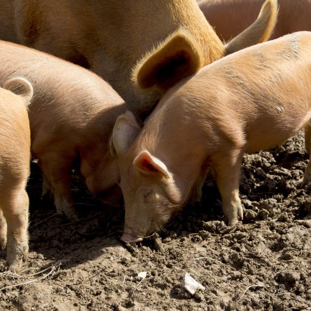 """Tamworth Piglets"" stock image"