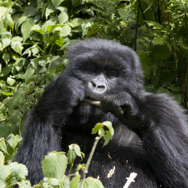 """Young Gorilla Feeding"" stock image"