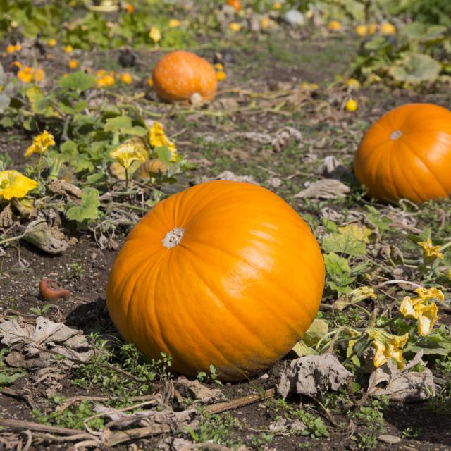 """""""Ripe Pumpkin in a Field"""" stock image"""