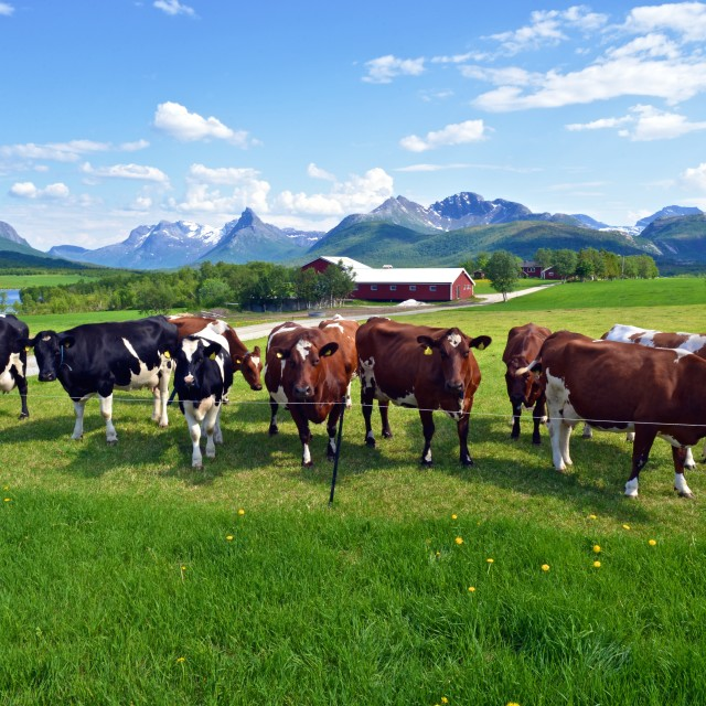 """""""cows in green grass"""" stock image"""