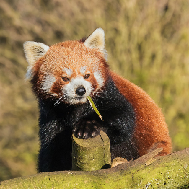 """Red Panda chewing bark"" stock image"