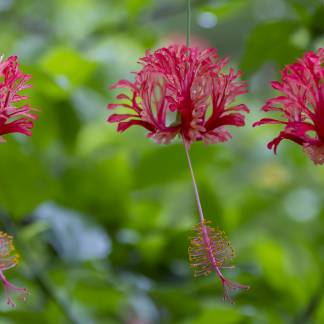 """""""Coral Hibiscus flowers"""" stock image"""