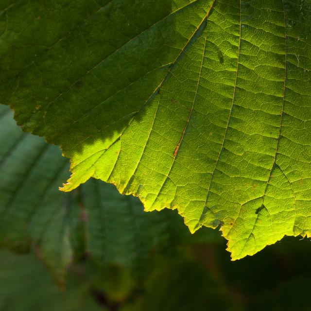 """""""Autumn sunshine behind hazel leaf"""" stock image"""