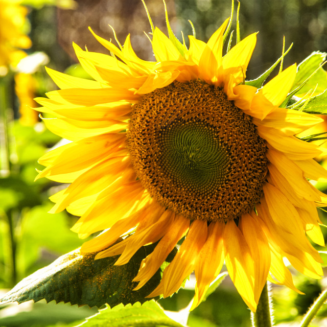 """Sunflower - Backlit."" stock image"